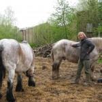 Gunter bei den Solawi-Pferden