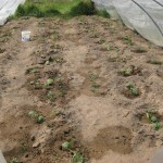 FT3_bereits gepflanzte Zucchini